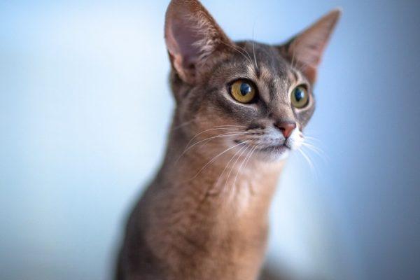 Родиной абиссинских кошек считается Эфиопия