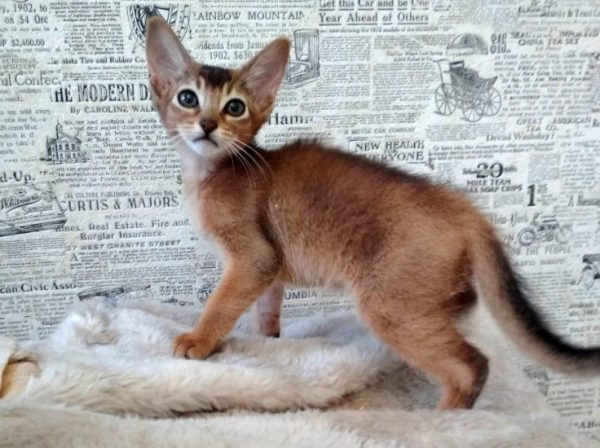 Котята абиссинской породы хорошо подаются обучению