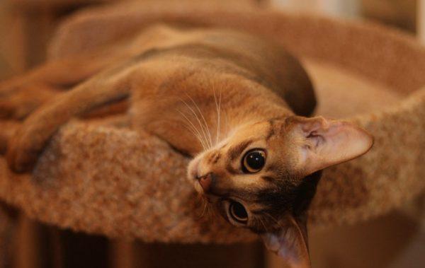 Абиссинские кошки преданы хозяину, игривы, любопытны, умны