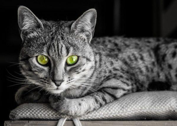 Египетские кошки настолько энергичные