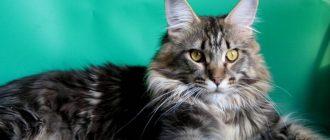 Вес кошек мейн-кун по месяцам каким должен быть в норме