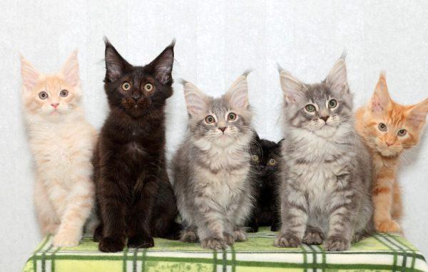 Покупать породистого котёнка нужно в питомниках
