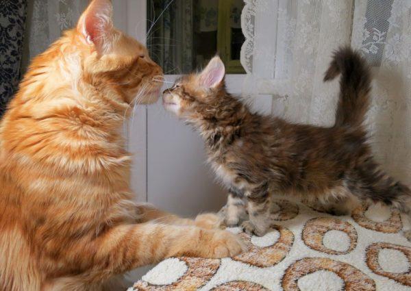 Мейн-куны вызывают аллергию не чаще, чем другие породы кошек