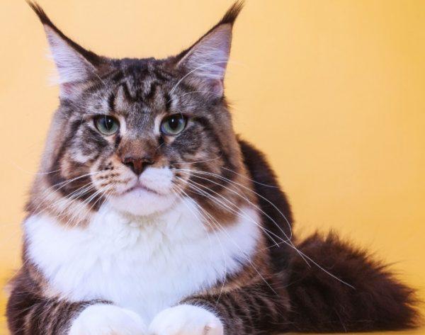 Вполне можно научить кота отзываться на собственную кличку