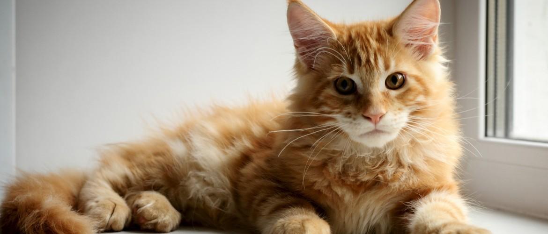 Кошка породы Мейн-кун : описание, чем кормить, особенности ухода и содержания в квартире, размножение, стандарт