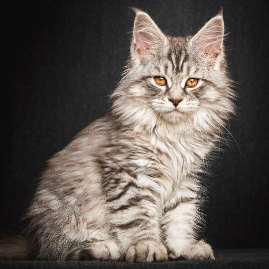 Индивидуального подхода к крупной кошке не требуется
