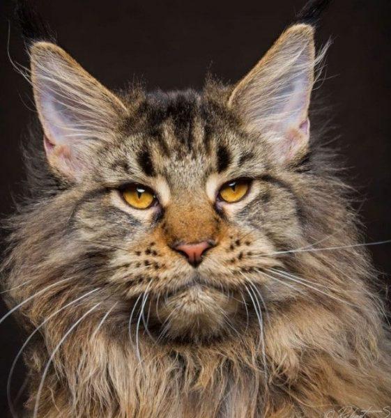 При появлении в доме енотового котенка следует купить тип туалета, к которому он был приучен у заводчика