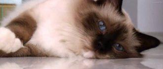 Кошка турецкая ангора (50 фото): ангорская порода, описание, видео