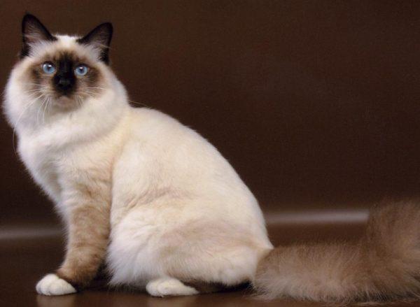 Шерсть у бирманских котов длинная или средней длины