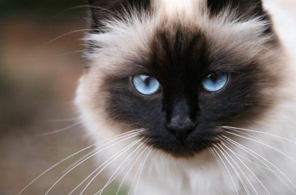 Бирманские кошки не мстительны