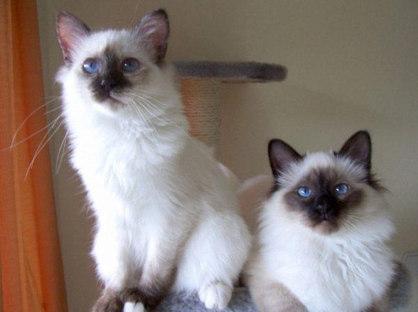 Вязать бирманских кошек лучше в возрасте 12-13 месяцев