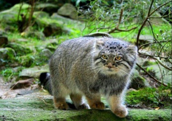 Охотятся коты на даурских пискух, мелких грызунов