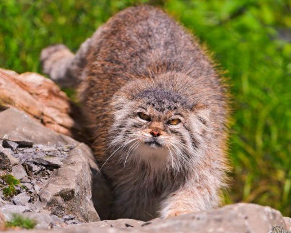 Большую опасность для котов палласа представляет человек