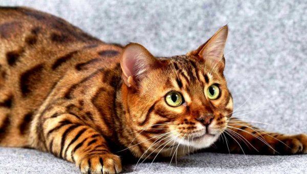 Тойгер – необычная кошка с хищным тигриным окрасом