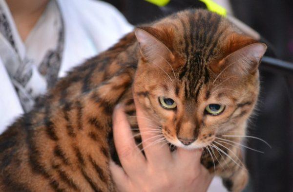 Главная особенность тойгеров – тигровая расцветка
