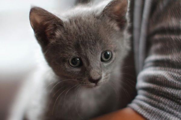 Средняя цена котенка без клубной регистрации, с документами – 50-100 долларов