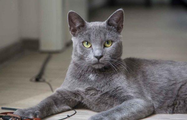 Характер кошки мягкий, деликатный и кроткий