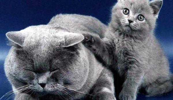 Как и все кошки, русская голубая чистоплотна и много времени уделяет уходу за шерстью