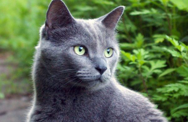 Коты породы русская голубая живут в среднем 15-20 лет