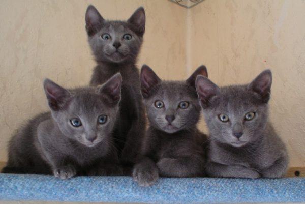 Кошка рожает самостоятельно, быстро, в помете обычно 3-4 котенка