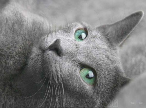 У русской голубой кошечки хорошо развит материнский инстинкт
