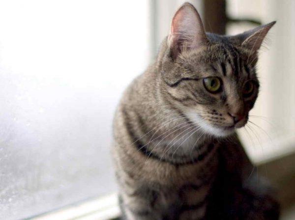 Передается бешенство от кошки к человеку при укусе