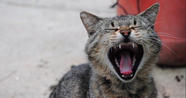При укусе домашней кошки, которая не встречалась с другими животными последние две недели, от вакцины можно отказаться