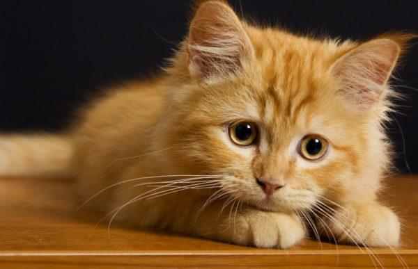 Через 3–4 дня после появления симптомов коты умирают от истощения