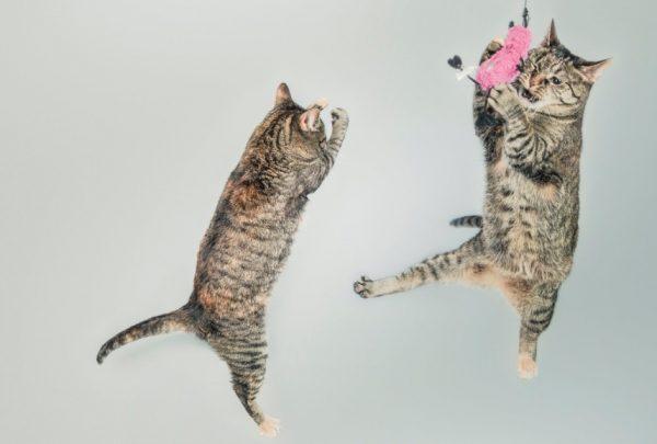 Глисты проникают в кошачий организм вместе с сырым мясом и рыбой