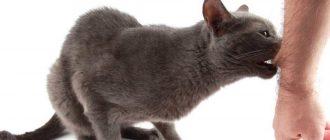 Конъюнктивит у кота лечение в домашних условиях