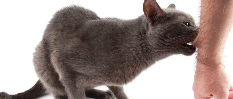 Как домашний кот может заразиться бешенством