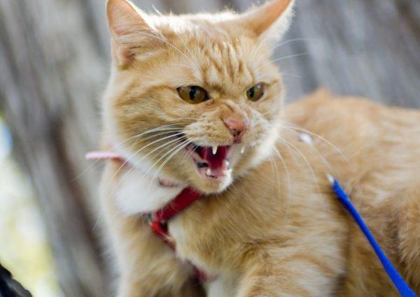 Бешенство является смертельно опасным кошачьим заболеванием