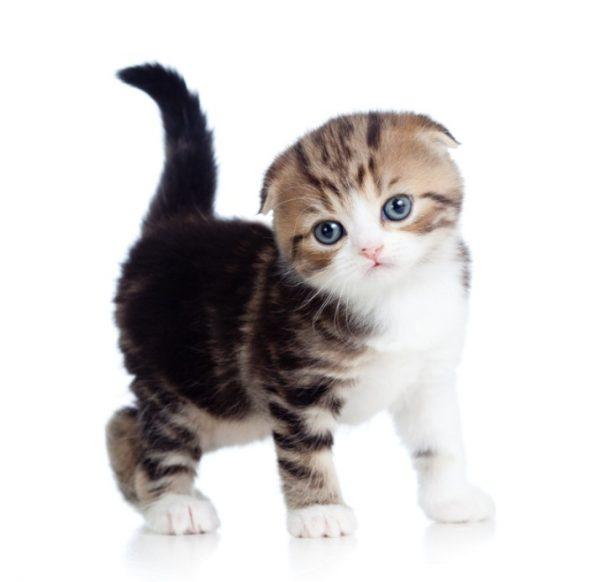 У котенка длительное отсутствие стула может вызвать рвоту, вялость, лихорадку, прерывистое дыхание