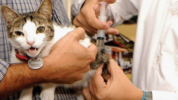 Антибиотики эффективно используются для уничтожения бактериальной, простейшей и грибковой микрофлоры у кошек