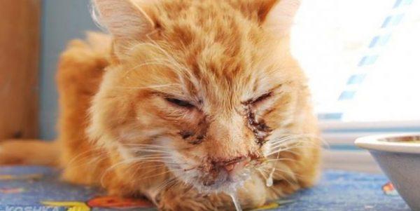 Микоплазмоз чаще всего поражает организм ослабленного животного