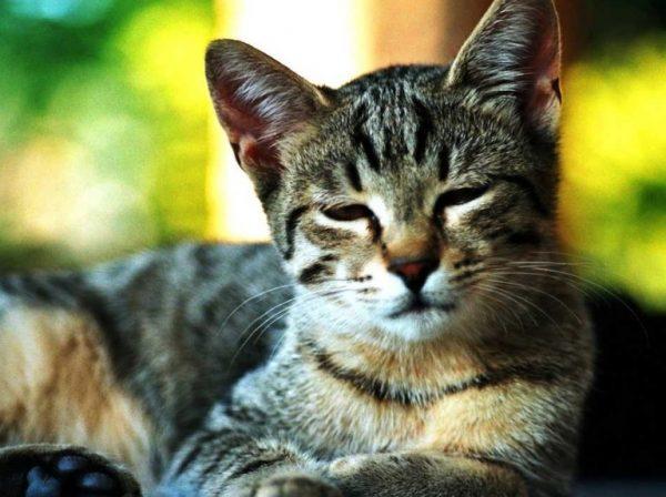 Тканевые цисты могут попасть в желудок кошки орально