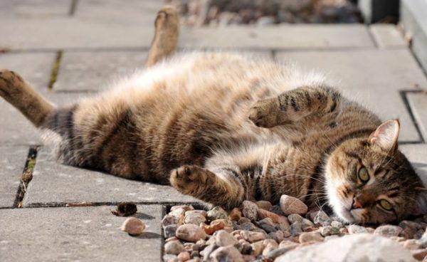 Наиболее часто у кошек встречается вирусный перитонит, передающийся орально-фекальным путем