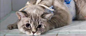 Через сколько времени после кастрации можно кормить кота