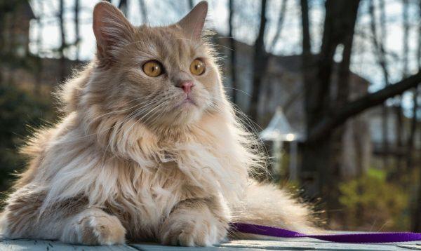 Персидская классическая кошка