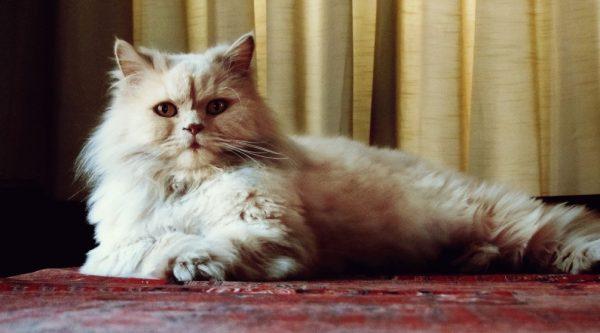 Повадки персидских кошек отличаются от поведения других домашних питомцев