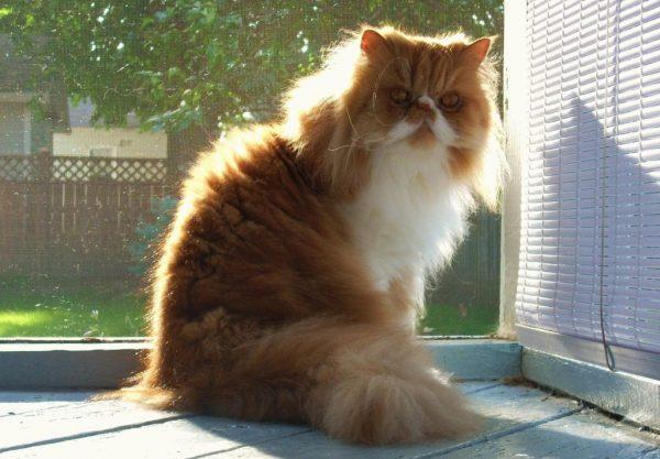 Персидский кот не бегает по квартире, задрав хвост