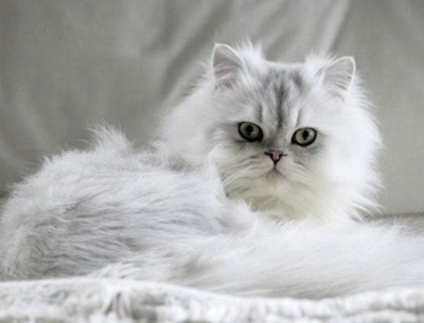 Персидская кошка – длинношёрстная древняя порода со своими преимуществами