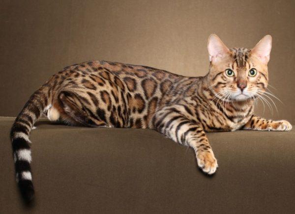 Животные бенгальской породы отличаются длинным мускулистым телом, сильными лапами