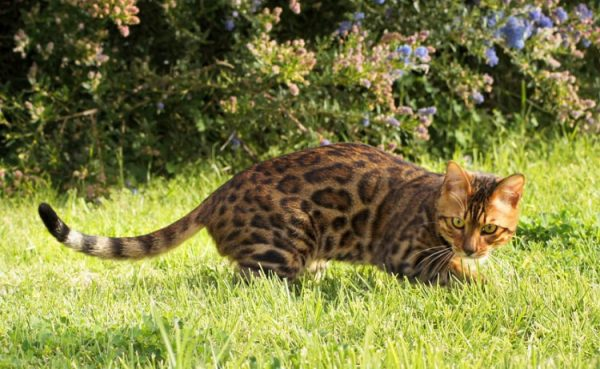Кошка умывается несколько раз в день, вычесывая выпавшие шерстинки