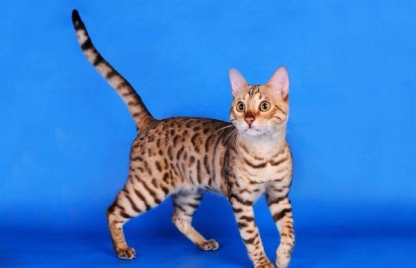 Воспитывая котенка, стоит научить его слову «нельзя»