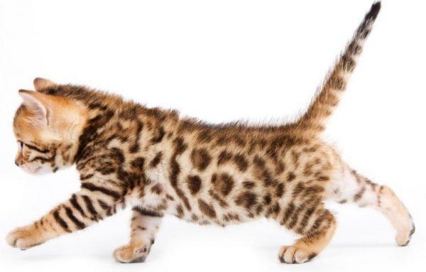 Как выбрать котенка, похожего на леопарда – порода бенгал: фото, цена, описание?