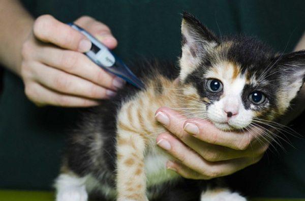 Котята подвержены чумке в максимальной степени из-за слабого иммунитета