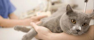 Как правильно давать канефрон коту