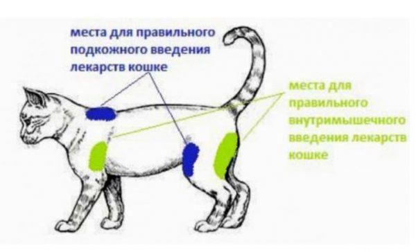 Места для правильного введения лекарств кошке