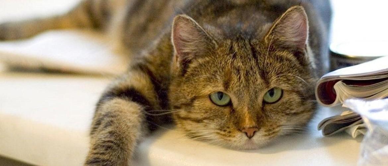 Асцит у кошки: симптомы и лечение — Кот Обормот